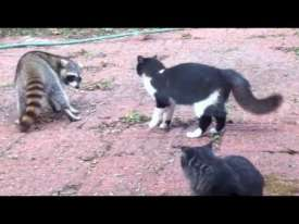 Raccoon fighting Cat