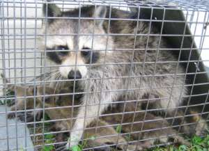 Trapped raccoon