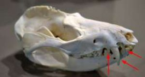 Skull of Raccoon