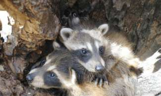 Raccoons nesting in a tree