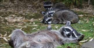 Raccoons Relaxing