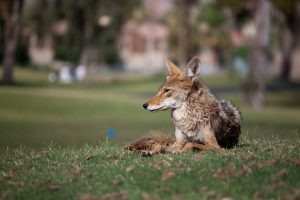 coyote lying in park