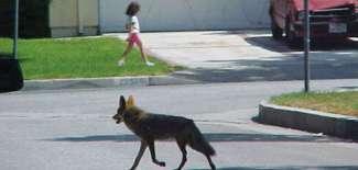Coyote walking near young girl