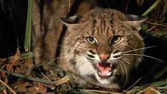 bobcat ready to attack