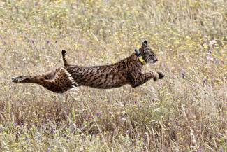 Bobcat running in full stride