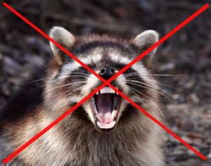 Get rid of raccoons guide (Attic, Yard and Garden veggie patch)