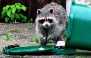 Stop Your Raccoon Problem Today Choose A Guide Pest Riddance