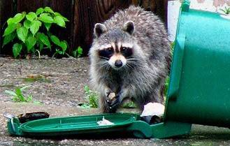 Raccoon eat out of a garbage can