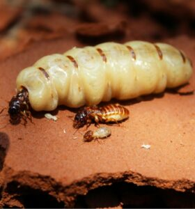 termite breeding pair
