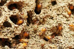 termites in nest