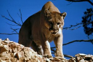 Mountain lion looking down from above
