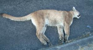 Dead Bobcat