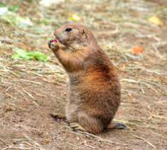 Picture of a Gopher eating