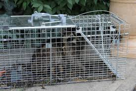 Raccoon Trapped