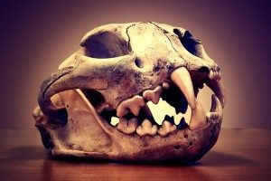 mountain lion skull