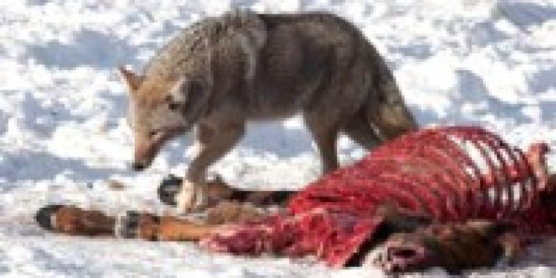 what is coyote diet